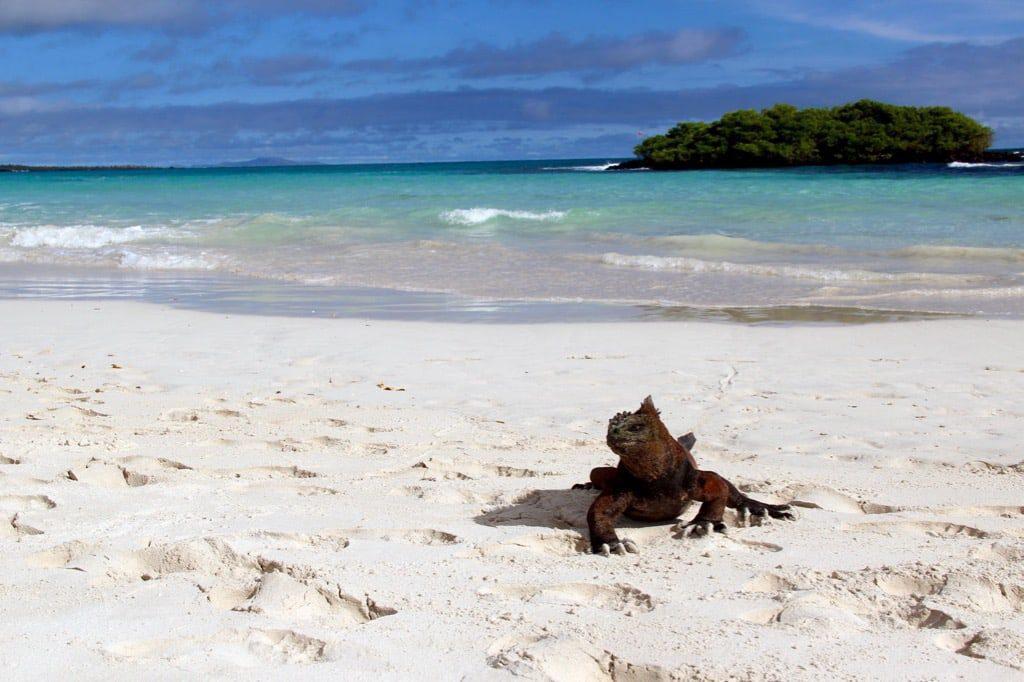 Leguan auf den Galapagos-Inseln